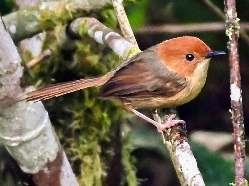 Orange-crowned Fairywren - Jacques Erard