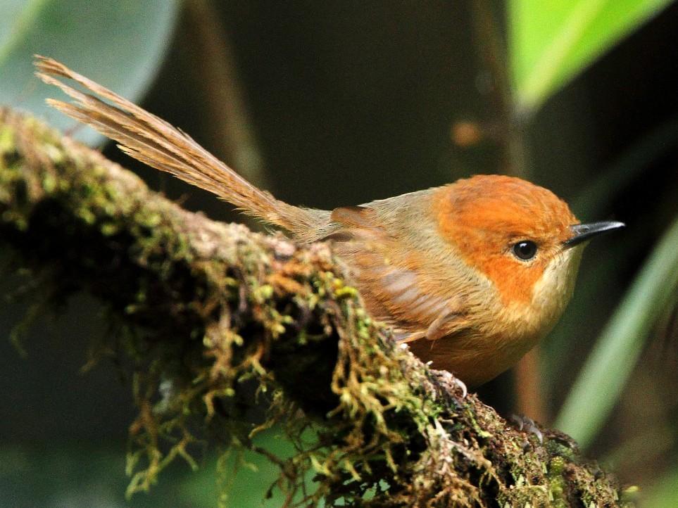 Orange-crowned Fairywren - Markus Lilje