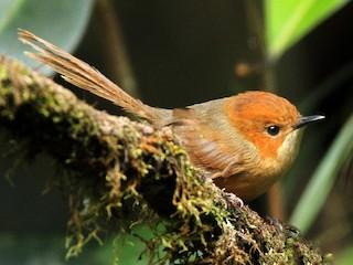 - Orange-crowned Fairywren