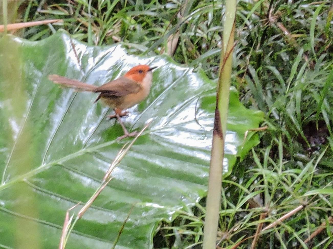 Orange-crowned Fairywren - Ricki Ravitts