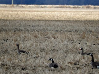 Greater White-fronted Goose, ML26439451