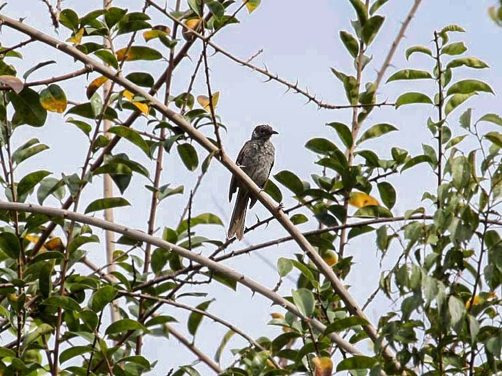 Marbled Honeyeater - Mehd Halaouate