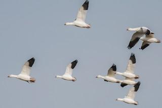 Ross's Goose, ML264753851