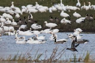 Cackling Goose, ML264758701