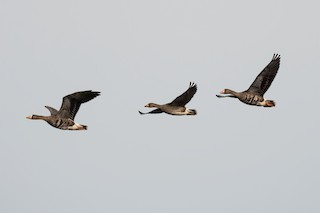 Greater White-fronted Goose, ML264759301