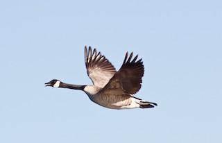 Canada Goose, ML26478961