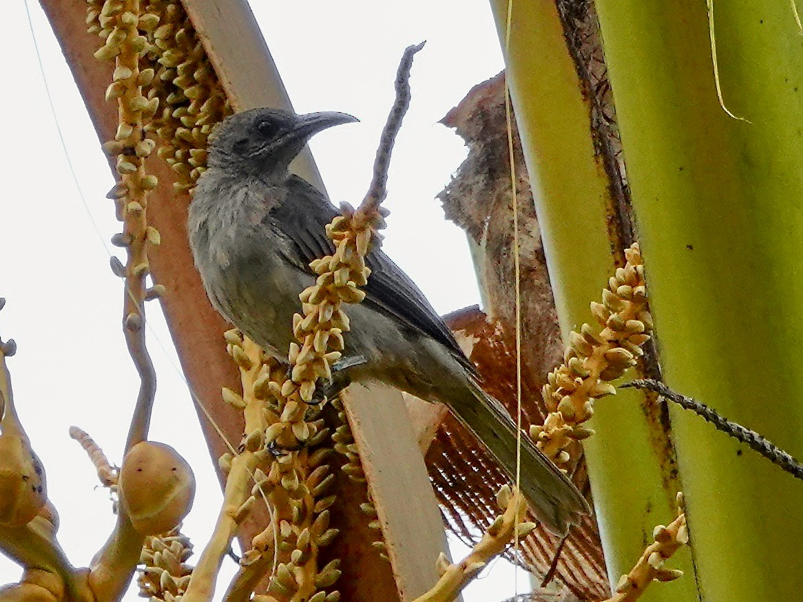 Meyer's Friarbird - Jason G