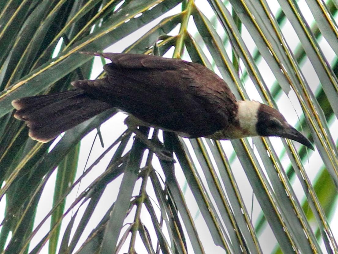 White-naped Friarbird - Stephan Lorenz