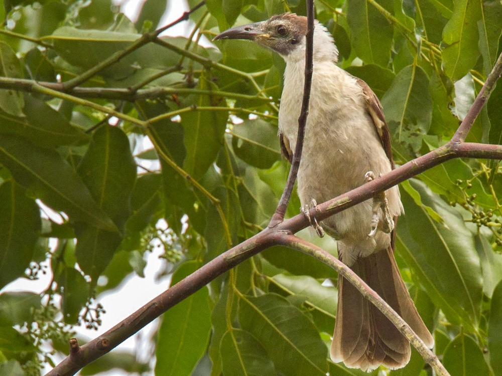 White-naped Friarbird - Lars Petersson