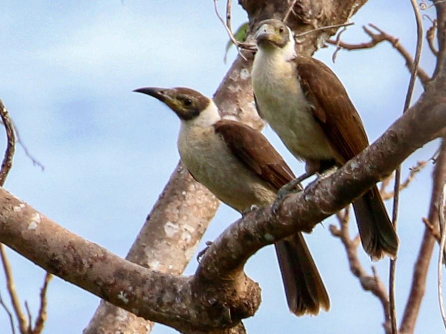 White-naped Friarbird - Oscar Campbell