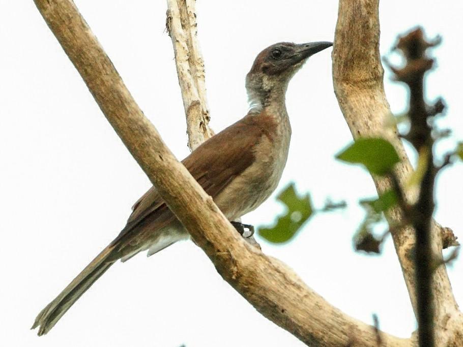 New Britain Friarbird - Markus Lilje