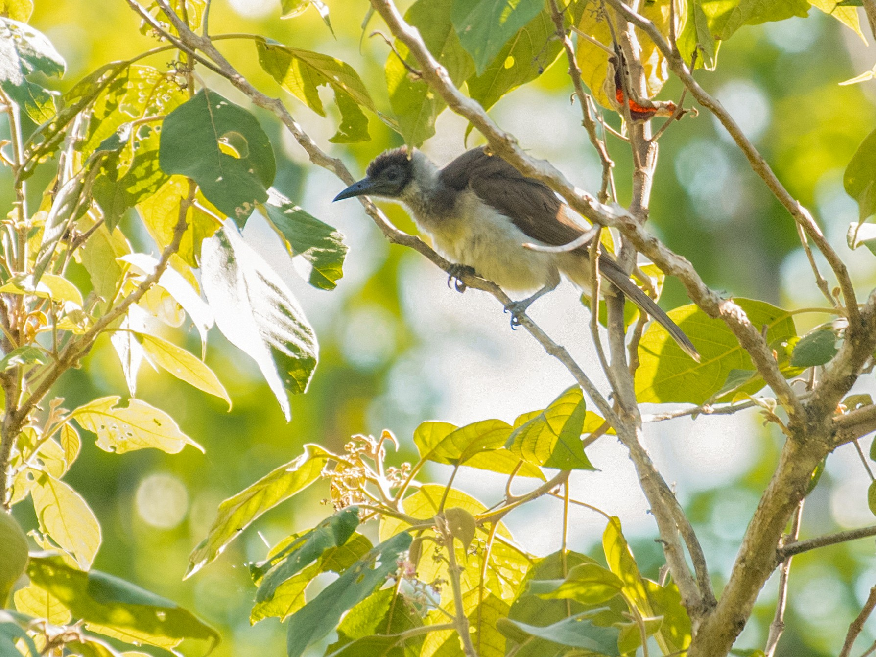 New Britain Friarbird - John C. Mittermeier