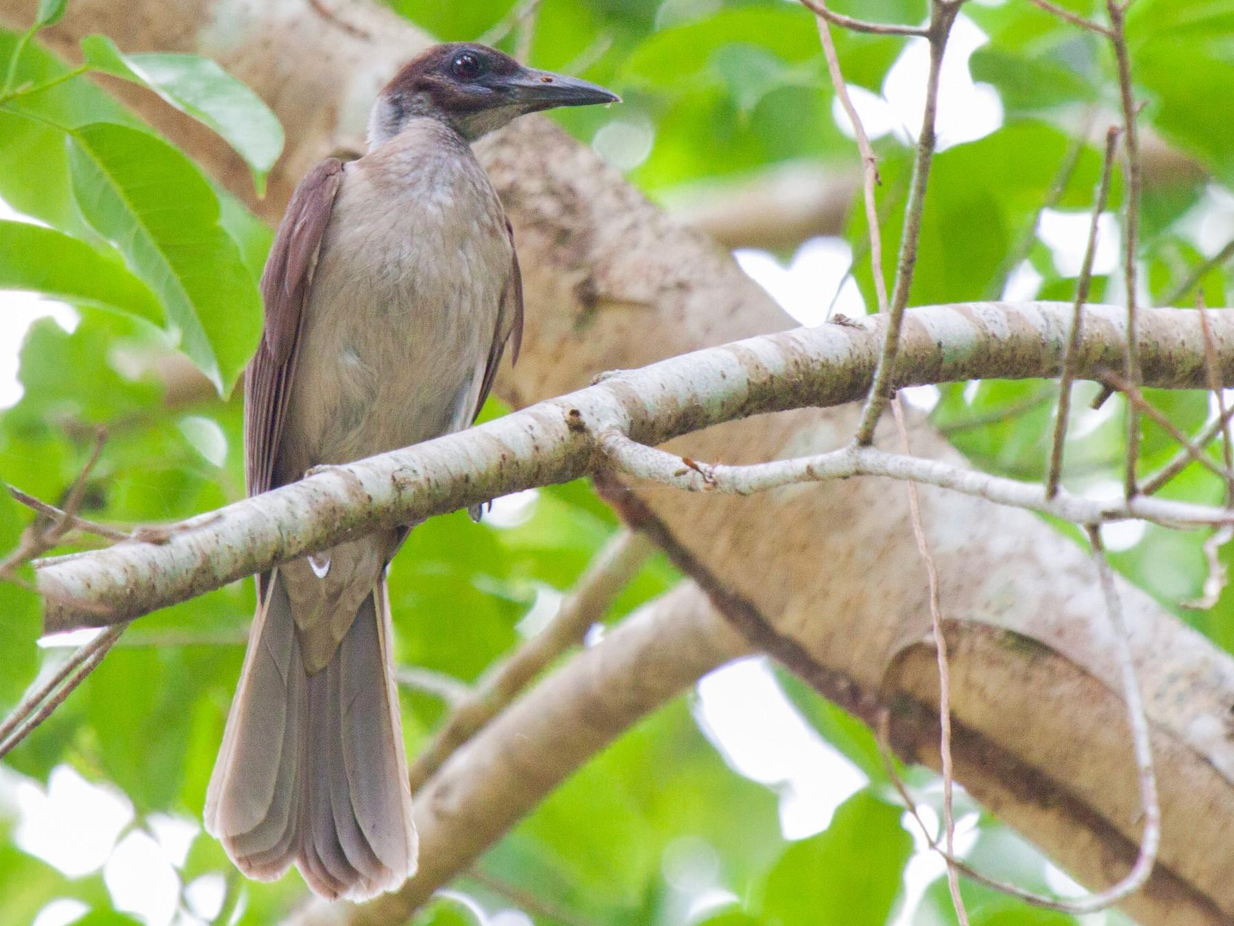 New Britain Friarbird - Sue Wright