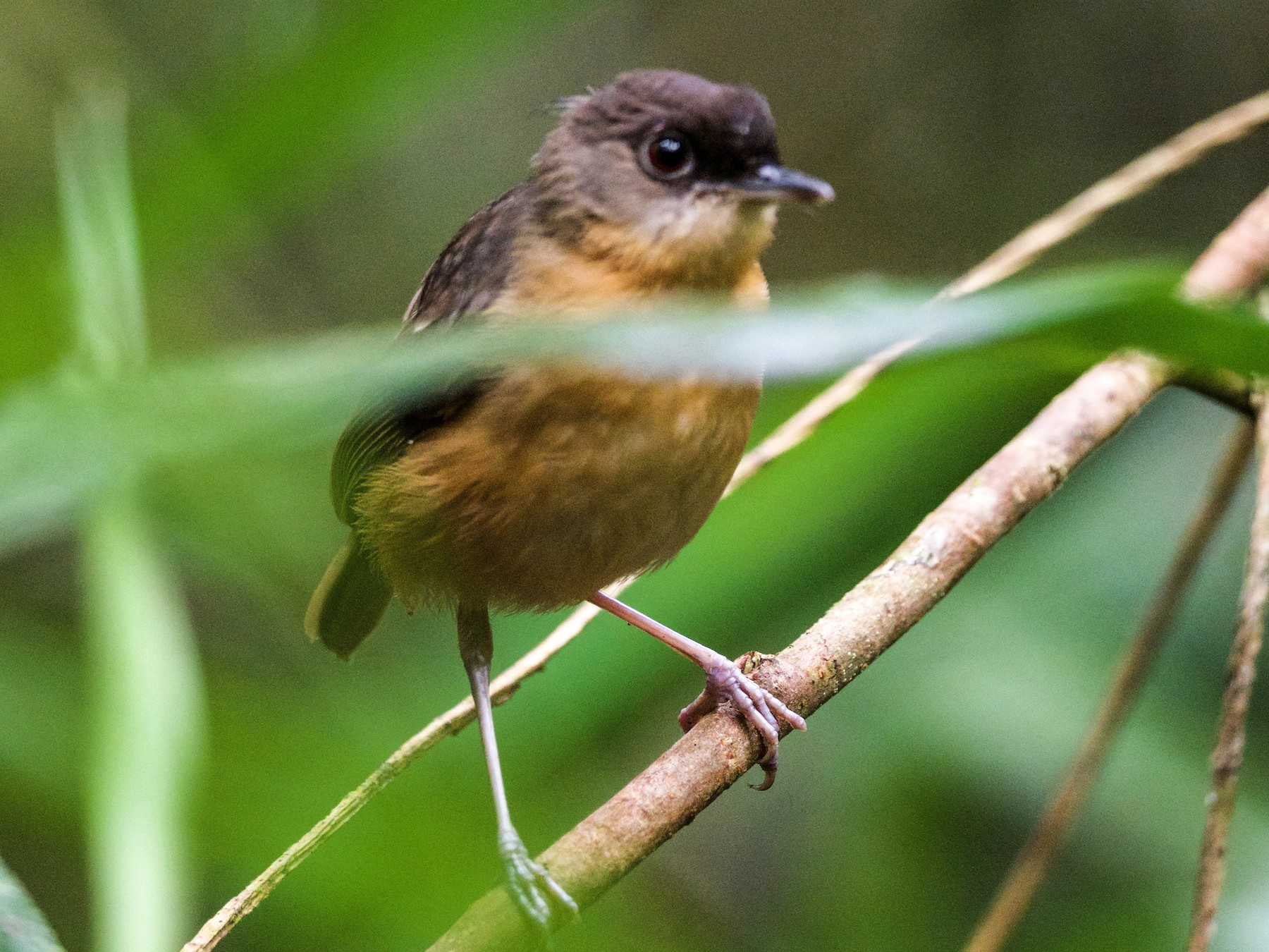 Rusty Mouse-Warbler - Arco Huang