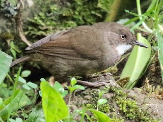- Mountain Mouse-Warbler