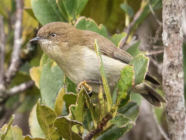 Papuan Thornbill - Eric VanderWerf