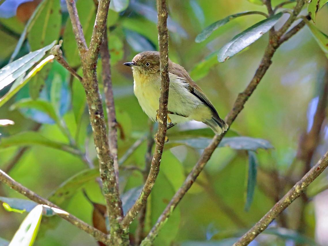 Papuan Thornbill - Nigel Voaden