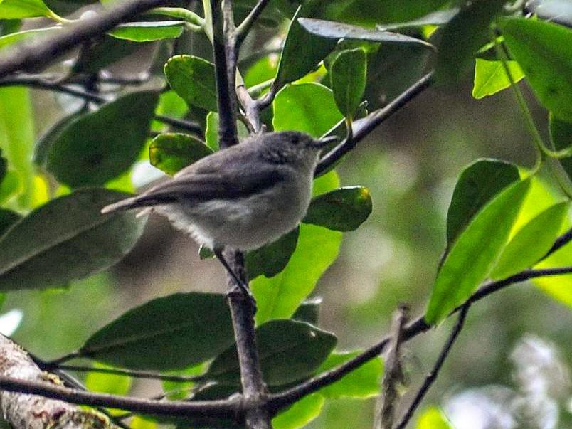 Gray Thornbill - Szabolcs Kókay