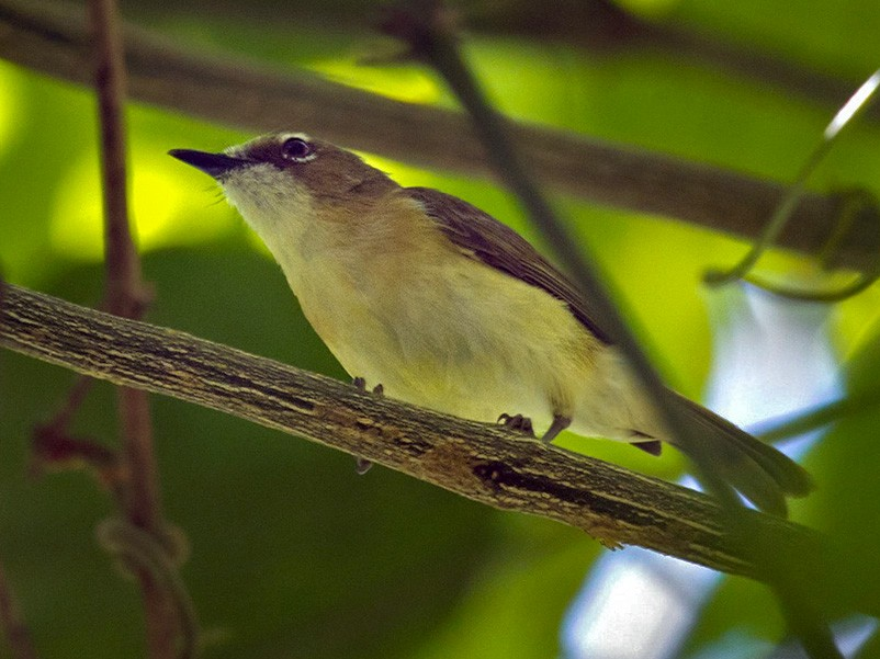 Yellow-bellied Gerygone - Lars Petersson