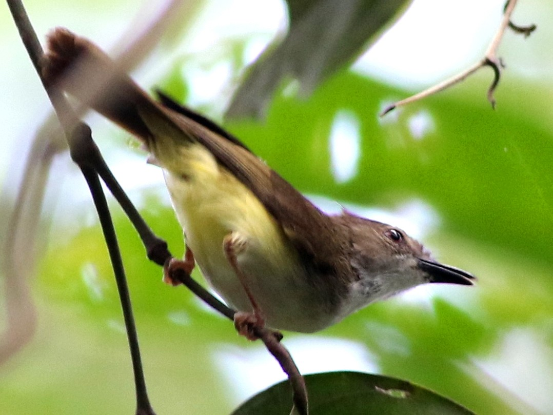 Yellow-bellied Gerygone - Chris Wiley