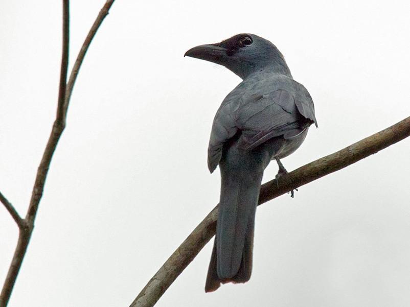Stout-billed Cuckooshrike - Lars Petersson