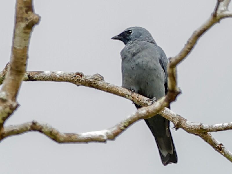 Boyer's Cuckooshrike - Holger Teichmann