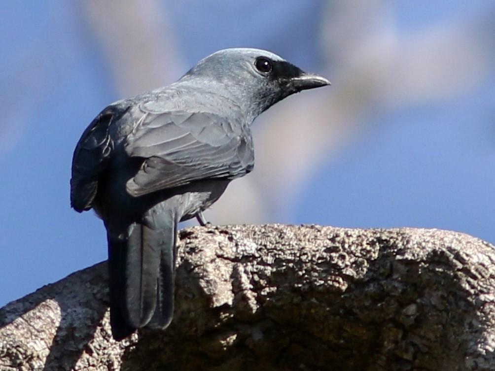 Boyer's Cuckooshrike - Chris Wiley