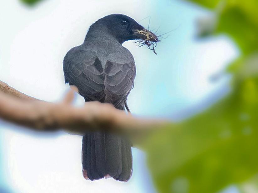 North Melanesian Cuckooshrike - Lars Petersson