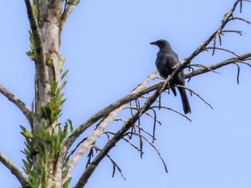 North Melanesian Cuckooshrike - Charles Davies