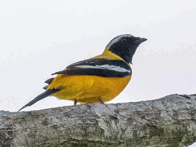 Golden Cuckooshrike - Eric VanderWerf