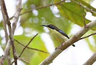 - Bohol Sunbird