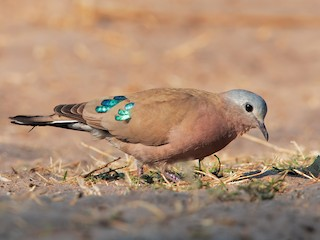 - Emerald-spotted Wood-Dove