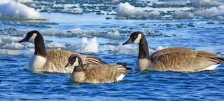 Cackling Goose, ML26552621