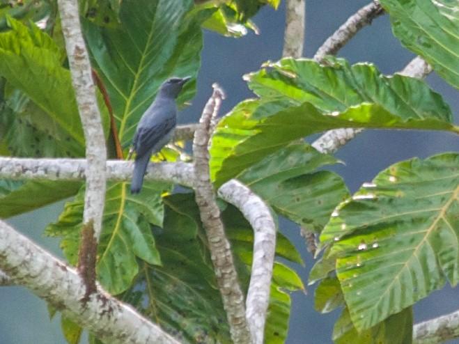 Papuan Cicadabird - John C. Mittermeier