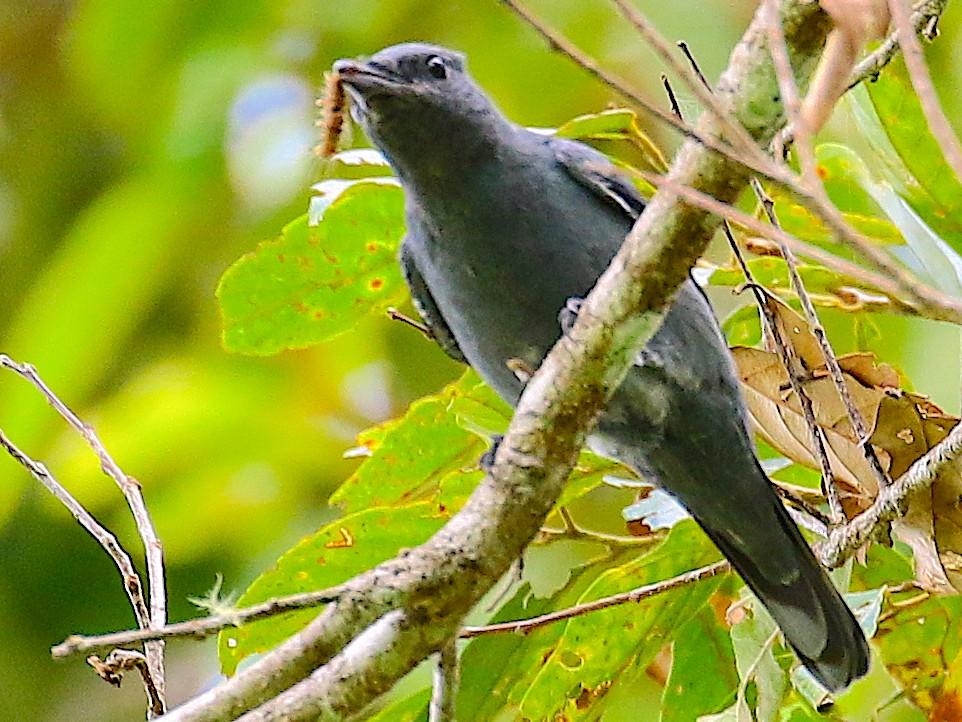 Papuan Cicadabird - Arco Huang