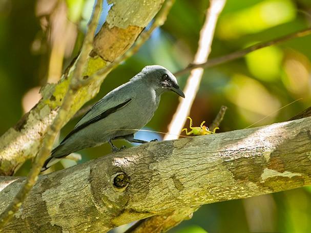 Gray-headed Cicadabird - Jeroen Vanheuverswyn