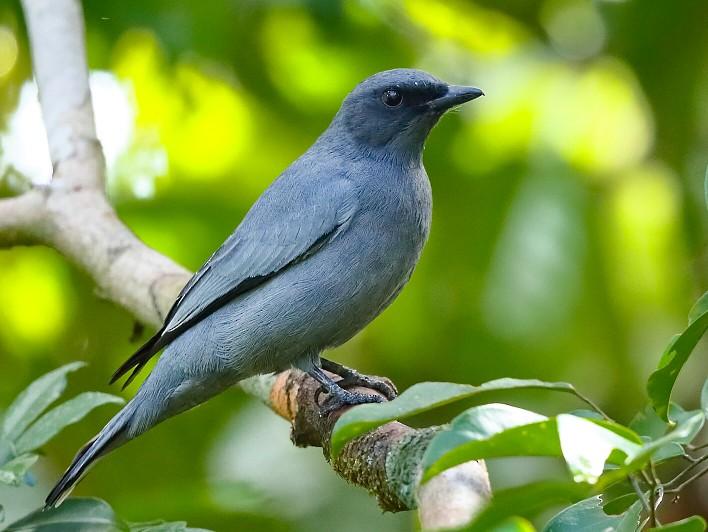 Gray-headed Cicadabird - Carlos Bocos