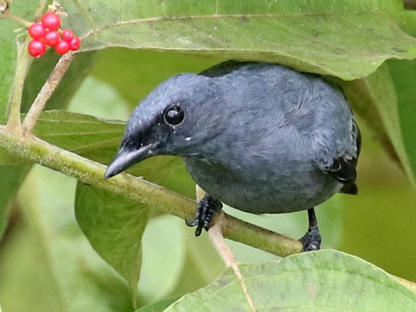 Gray-headed Cicadabird - Charley Hesse