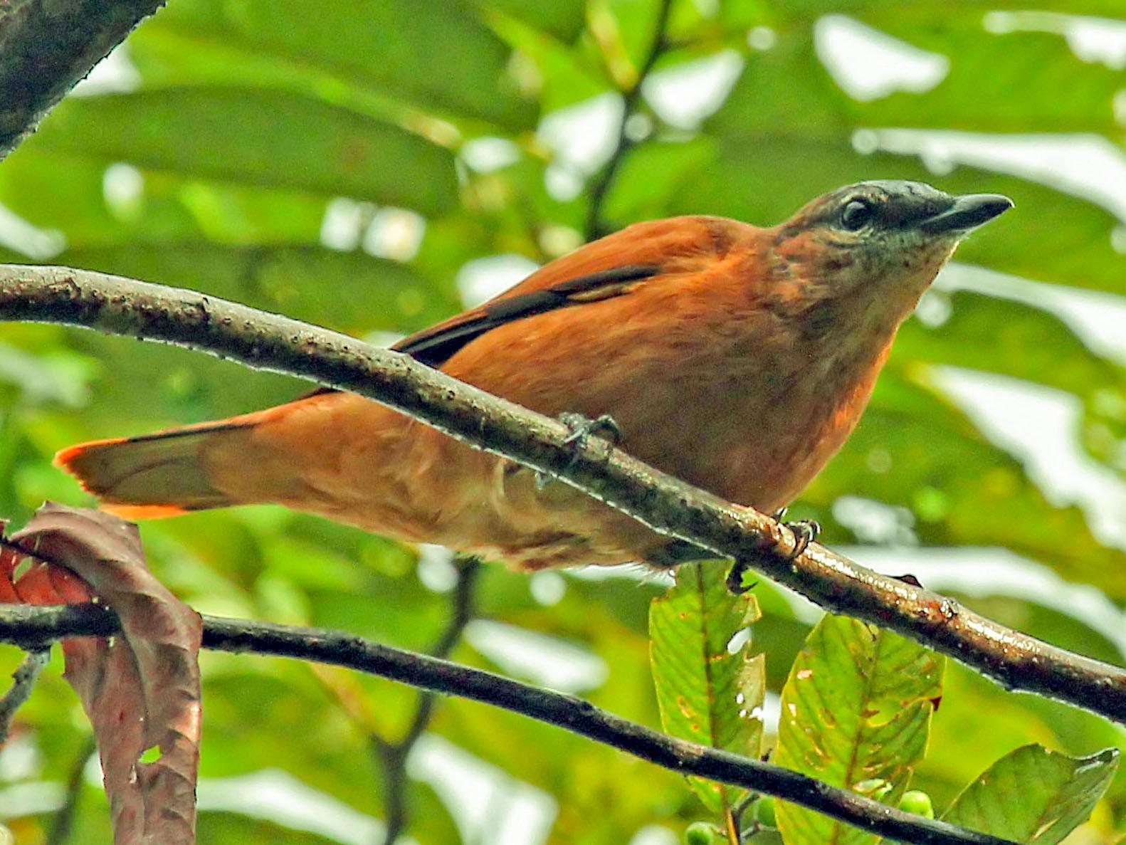 Gray-headed Cicadabird - Phillip Edwards