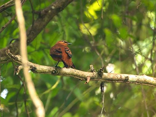 Black Cicadabird - Jeroen Vanheuverswyn