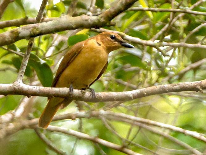 Black Cicadabird - Frédéric PELSY