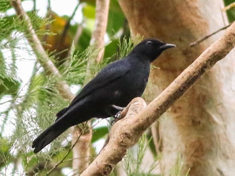 Black Cicadabird - Chris Wiley