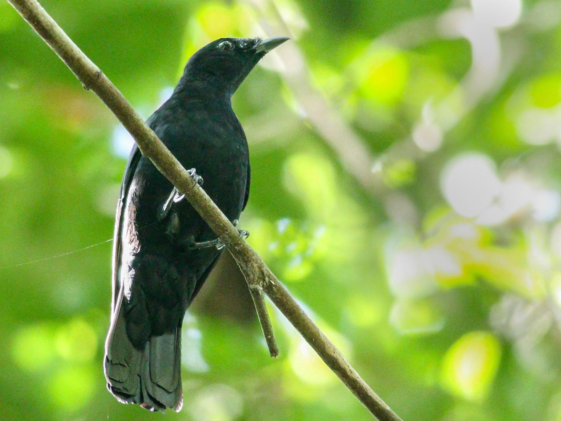 Black Cicadabird - Wilbur Goh Soon Kit