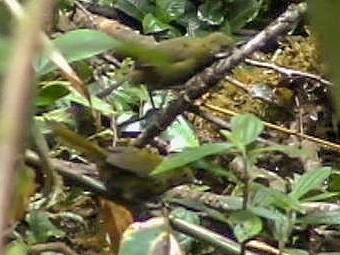 Papuan Whipbird - Ashley Banwell