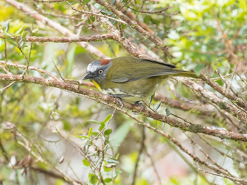 Rufous-naped Bellbird - Tony Palliser