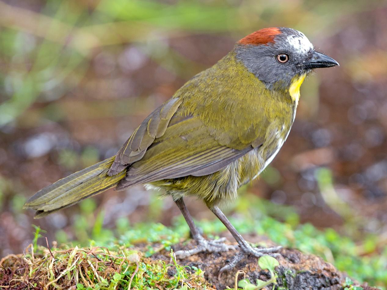 Rufous-naped Bellbird - Thierry NOGARO