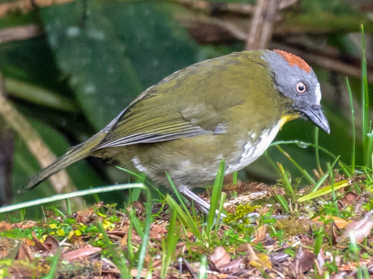 Rufous-naped Bellbird - Robert Lewis