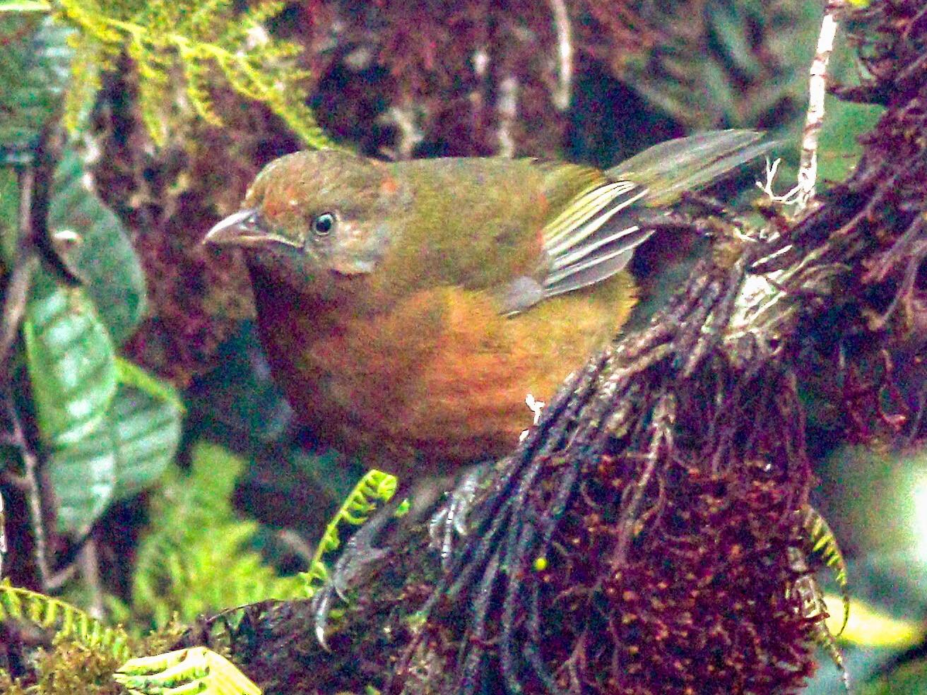 Rufous-naped Bellbird - Wilbur Goh Soon Kit