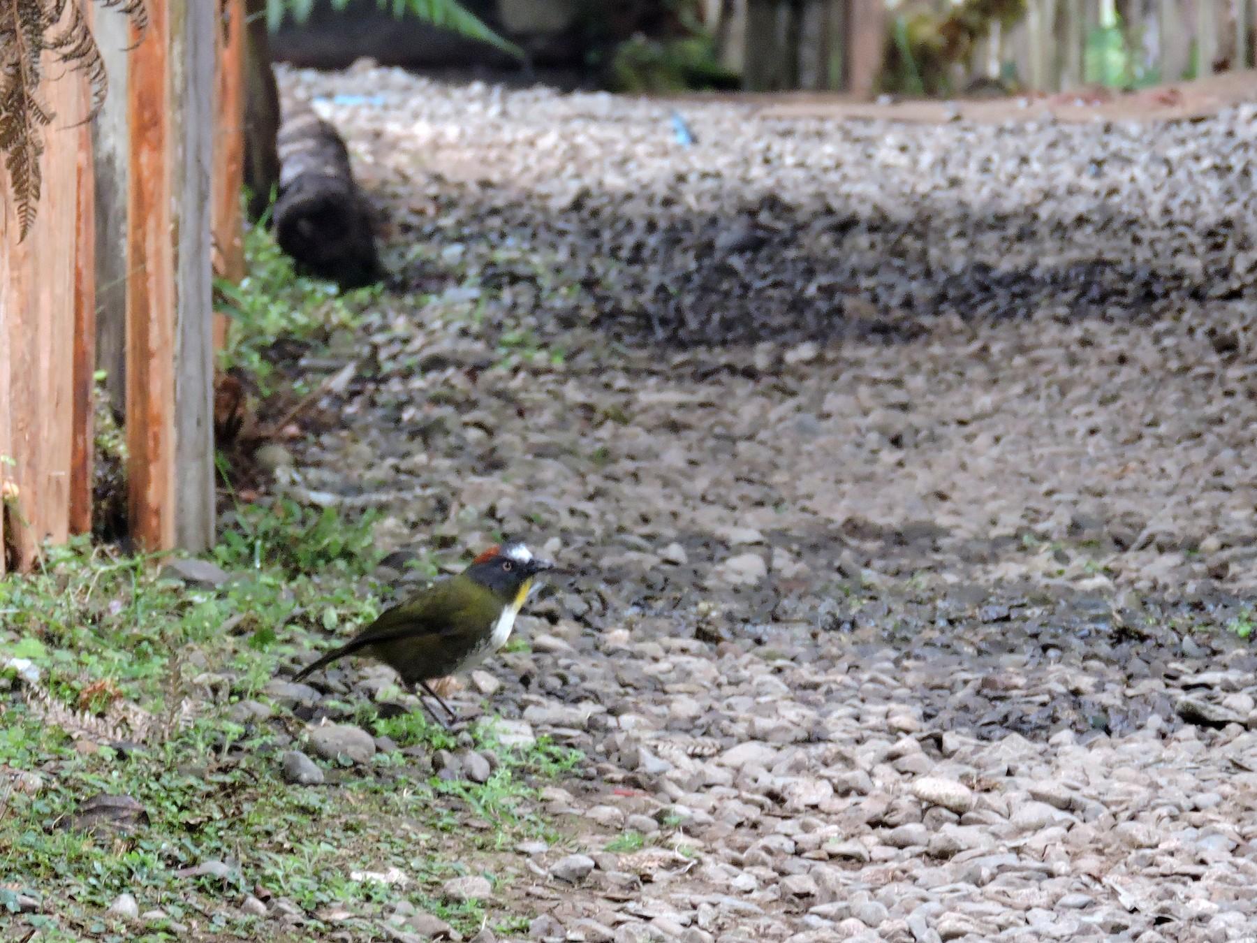 Rufous-naped Bellbird - Ricki Ravitts