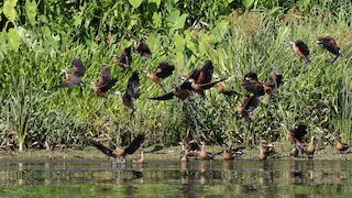 Wandering Whistling-Duck, ML26599521